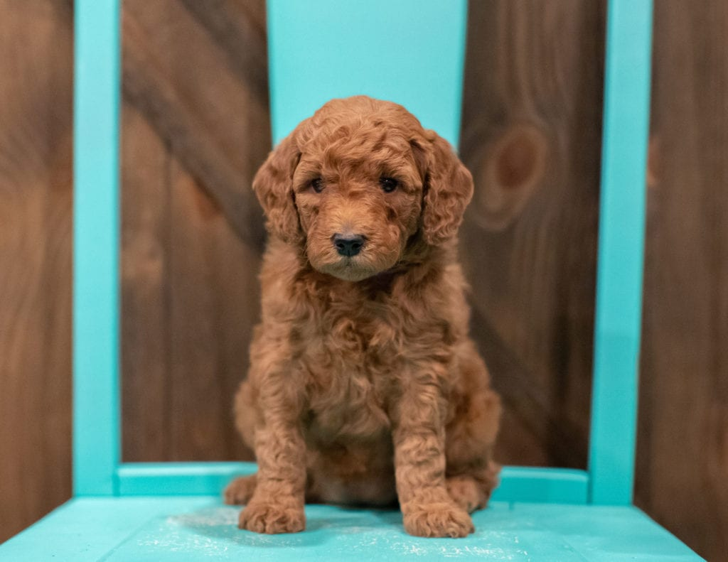 Petite Goldendoodles with hypoallergenic fur due to the Poodle in their genes. These Goldendoodles are of the F1B generation. For more info on generations, view our specific breed page for Goldendoodles.