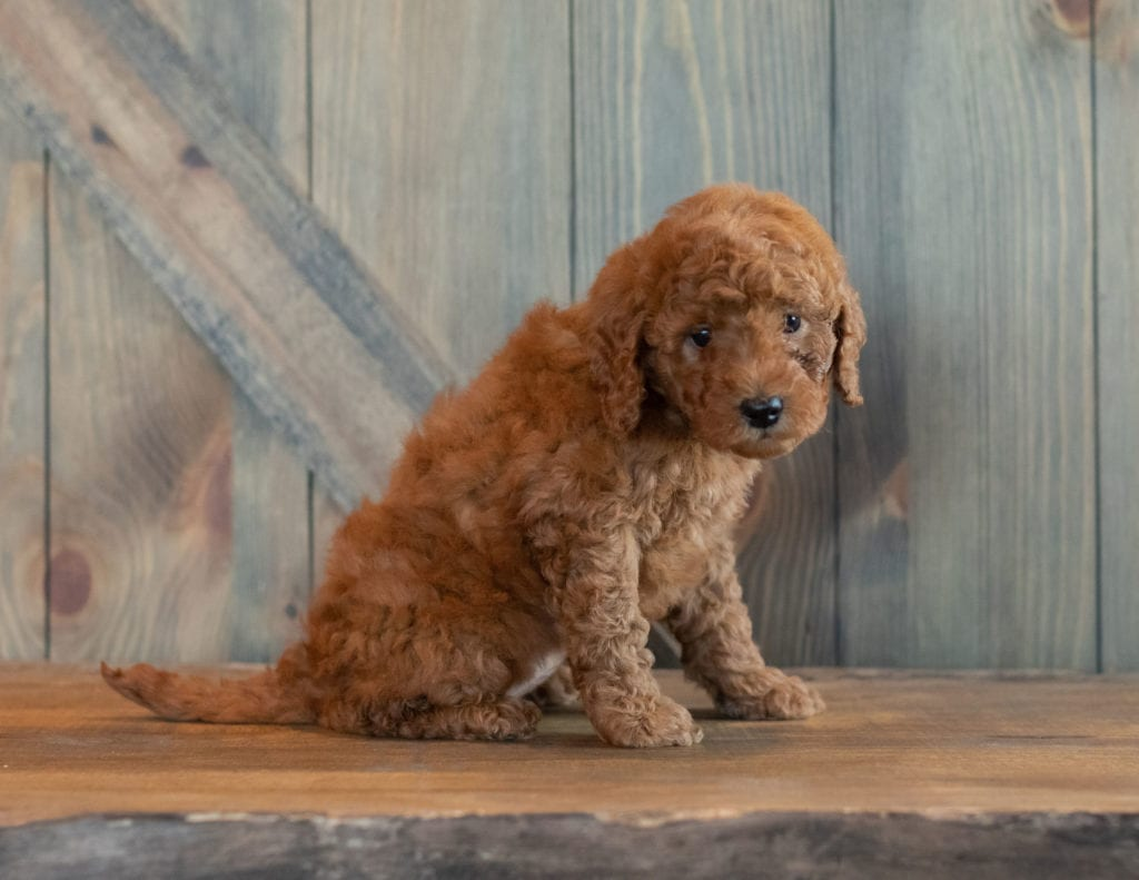 Gwen came from Berkeley and Reggie's litter of F1B Goldendoodles