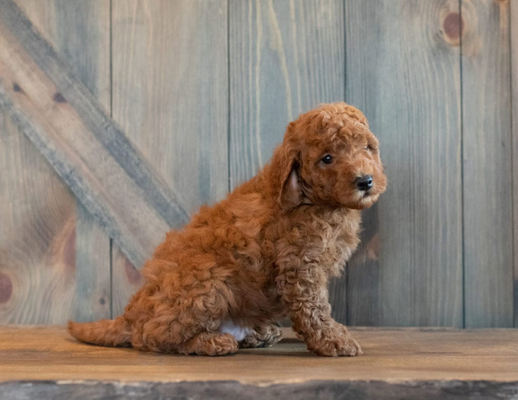 Gerry is an F1B Goldendoodle.