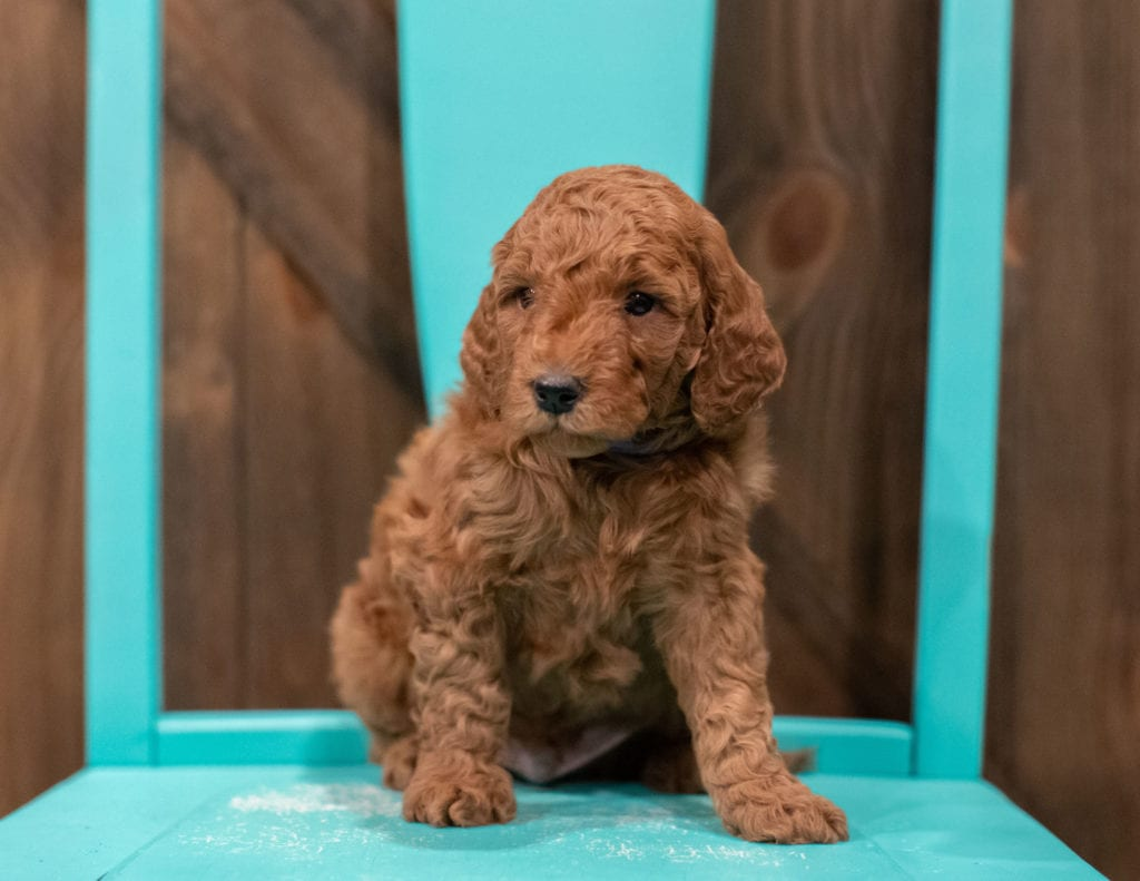 A picture of a Gerry, one of our Petite Goldendoodles for sale