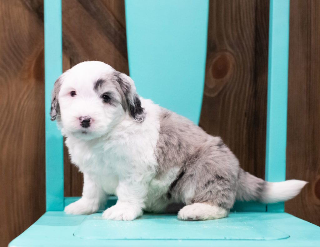 A picture of a Barney, one of our Mini Sheepadoodles puppies that went to their home in Illinois