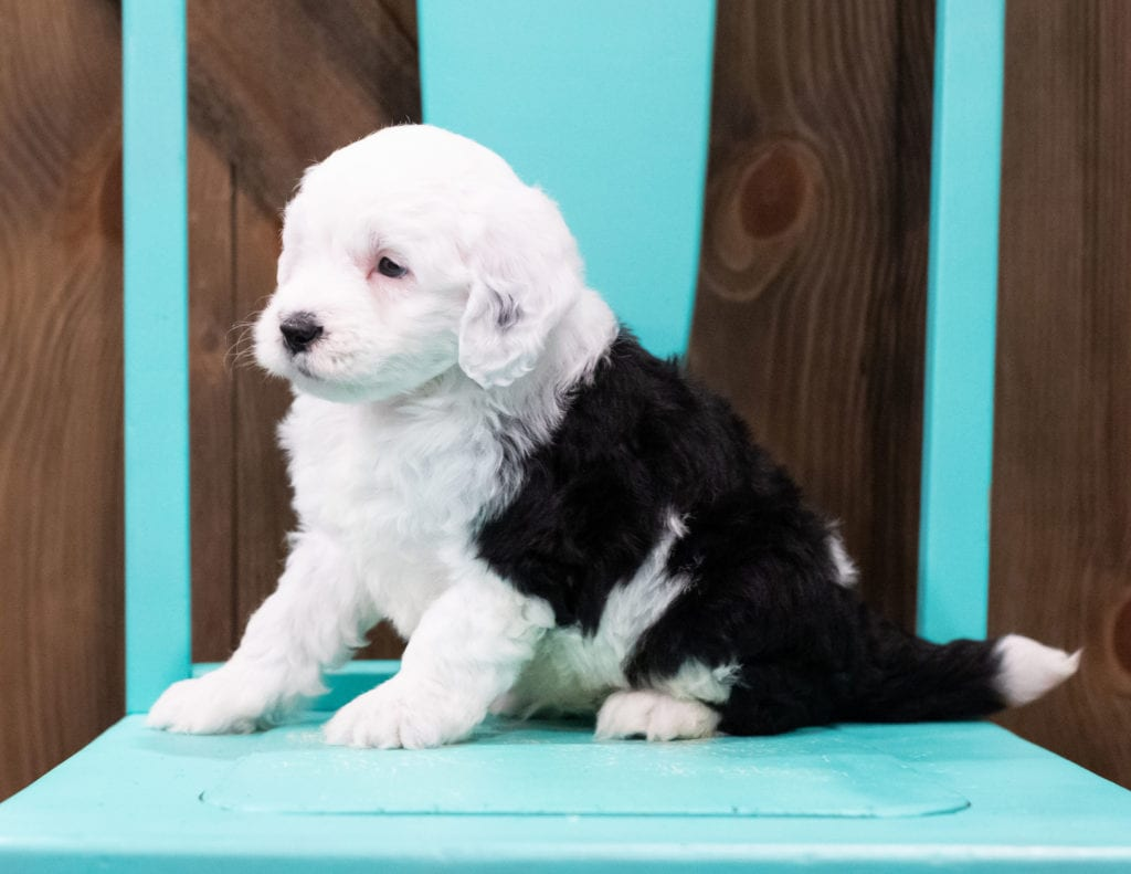 Beau is an F1 Sheepadoodle that should have  and is currently living in Illinois
