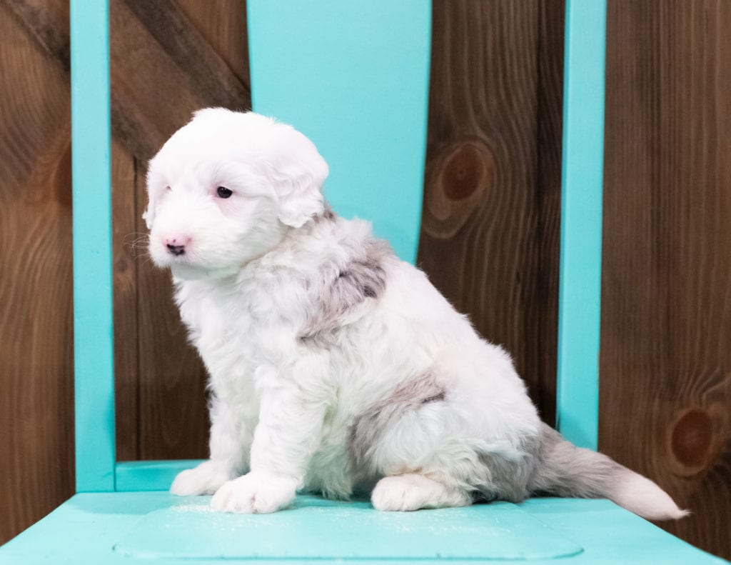 Betty is an F1 Sheepadoodle that should have  and is currently living in New Jersey