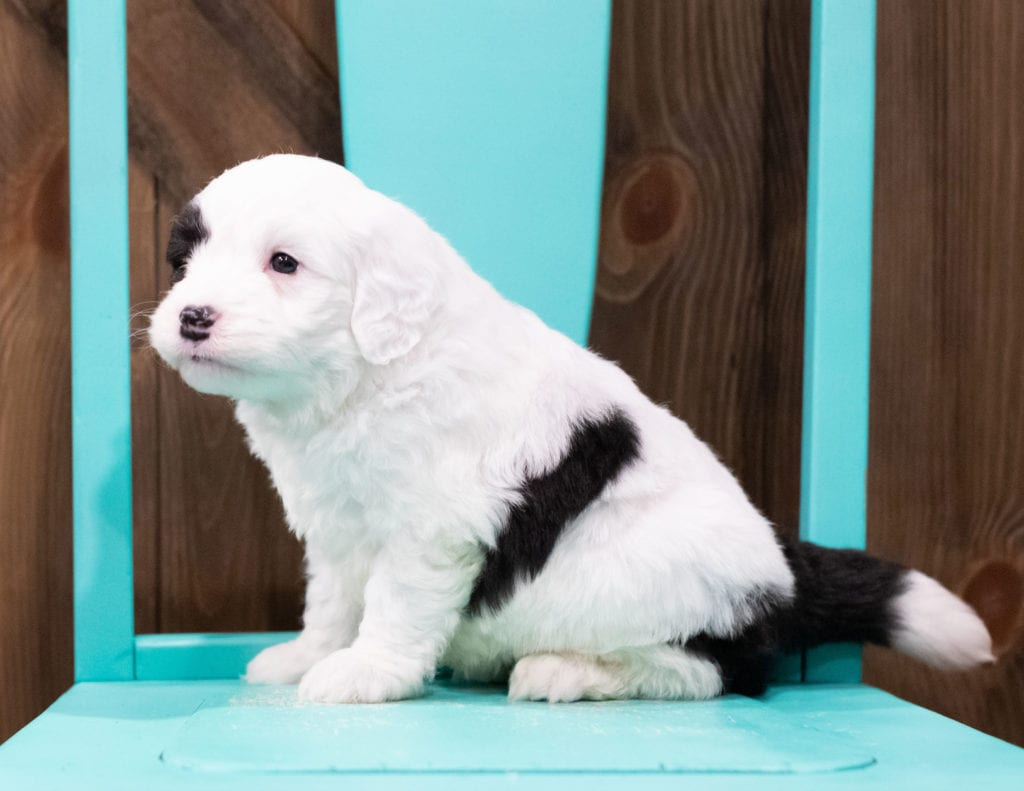 Brazen is an F1 Sheepadoodle that should have  and is currently living in Virginia
