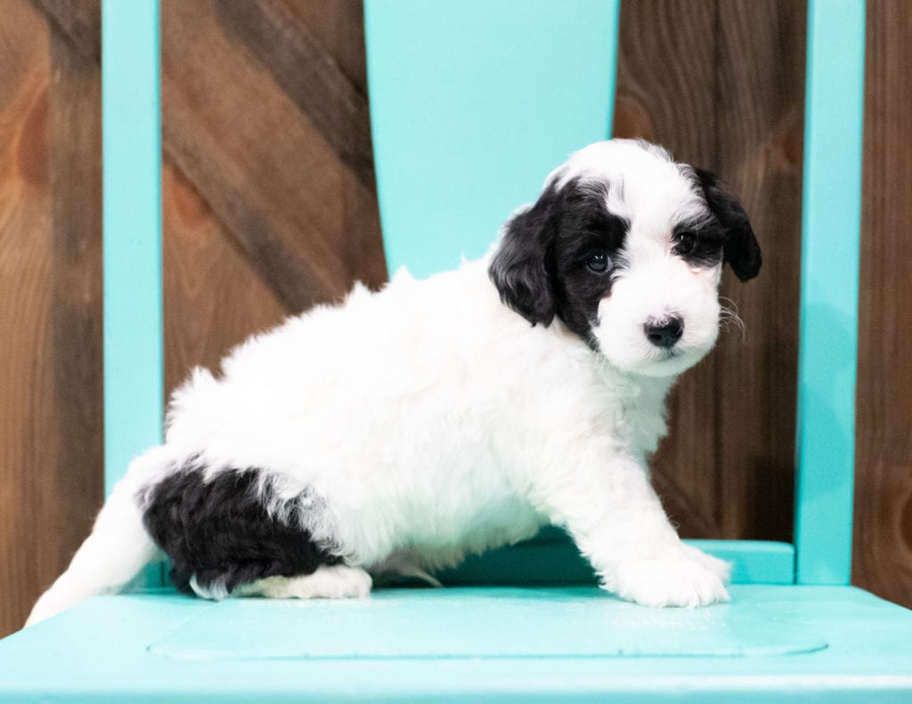 "Damper is an F1B Sheepadoodle that will be hypoallergenic. Read more about what a dog being hypoallergenic means on our latest blog post, ""The New Breed Everyone Seems to Want"""