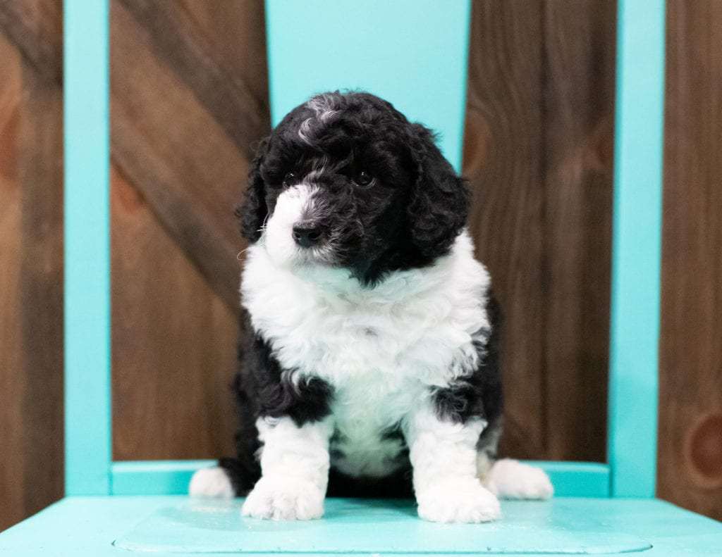 "Delilah is an F1B Sheepadoodle that will be hypoallergenic. Read more about what a dog being hypoallergenic means on our latest blog post, ""The New Breed Everyone Seems to Want"""