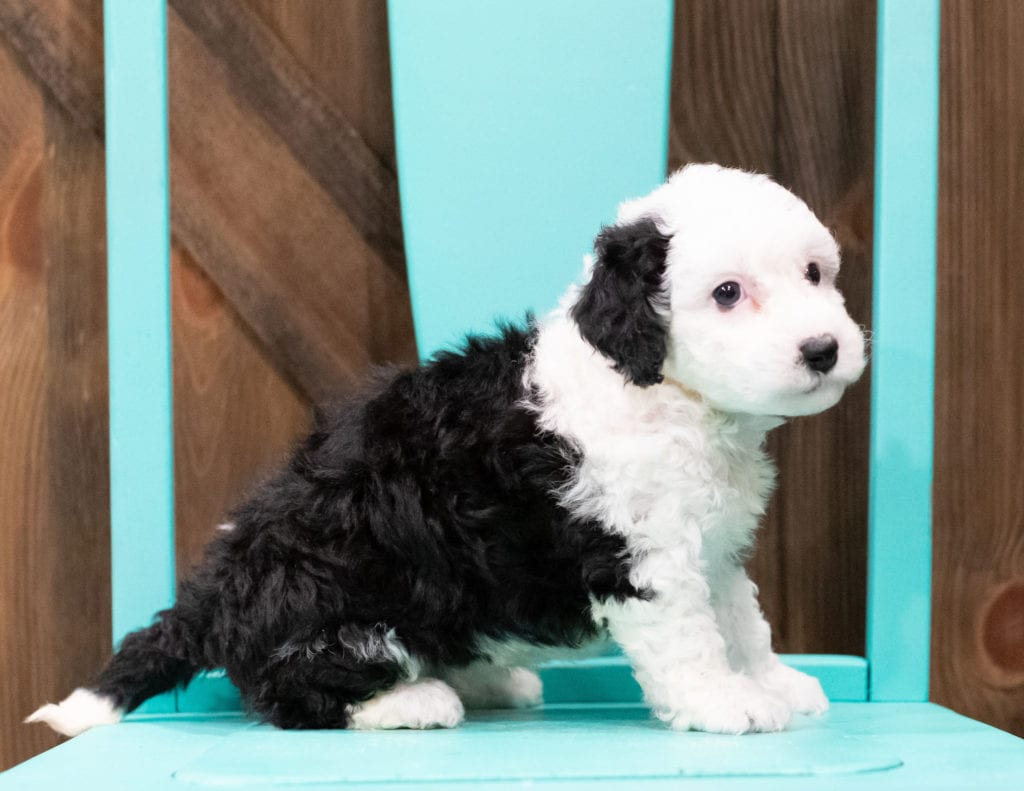 "Della is an F1B Sheepadoodle that will be hypoallergenic. Read more about what a dog being hypoallergenic means on our latest blog post, ""The New Breed Everyone Seems to Want"""