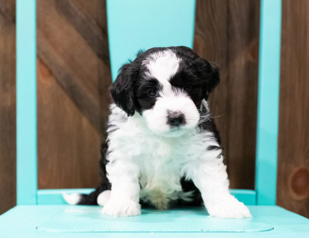 "Derik is an F1B Sheepadoodle that will be hypoallergenic. Read more about what a dog being hypoallergenic means on our latest blog post, ""The New Breed Everyone Seems to Want"""
