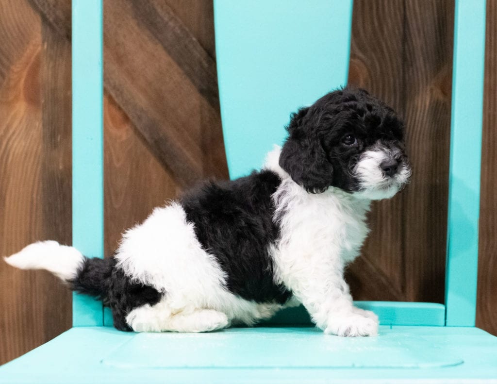 "Dixie is an F1B Sheepadoodle that will be hypoallergenic. Read more about what a dog being hypoallergenic means on our latest blog post, ""The New Breed Everyone Seems to Want"""