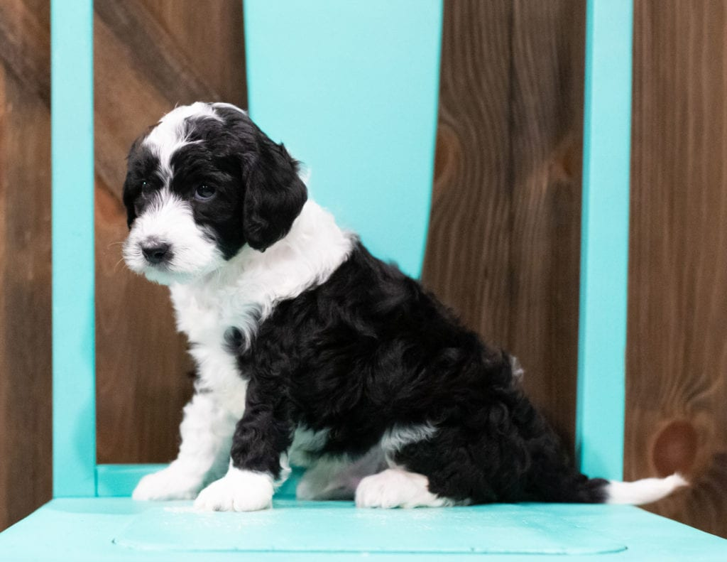 "Dodge is an F1B Sheepadoodle that will be hypoallergenic. Read more about what a dog being hypoallergenic means on our latest blog post, ""The New Breed Everyone Seems to Want"""