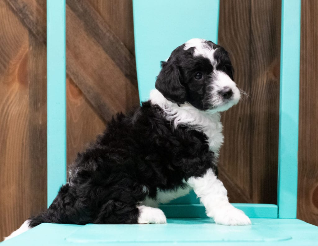 A picture of a Dodge, one of our Mini Sheepadoodles puppies