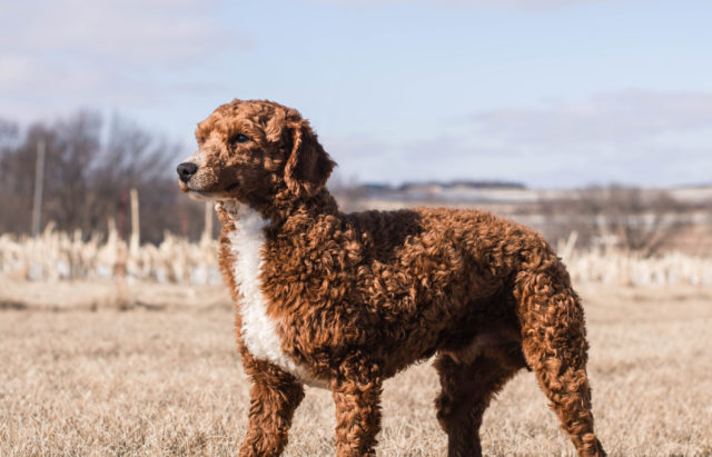 A picture of our litter of Standard Goldendoodles raised in Iowa