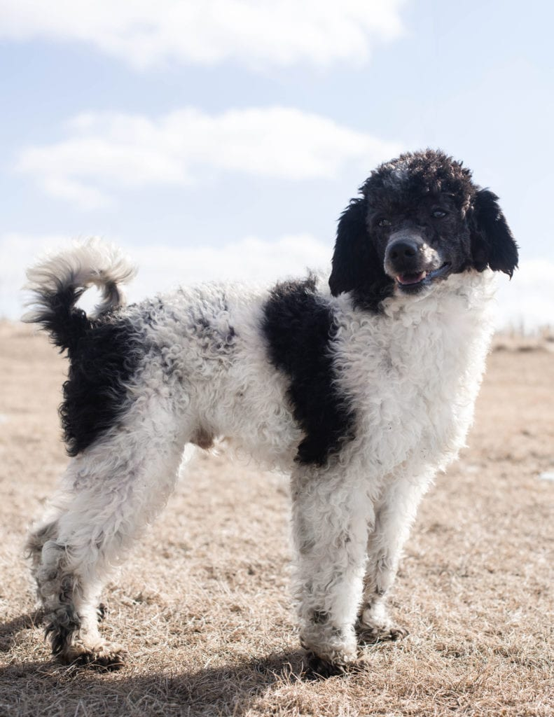 Petite Bernedoodles with hypoallergenic fur due to the Poodle in their genes. These Bernedoodles are of the F1BB generation.
