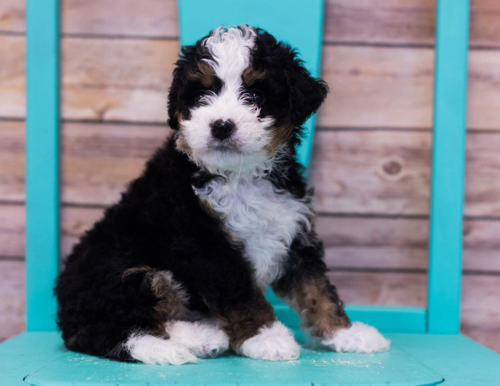 A picture of a Landon, one of our Mini Bernedoodles puppies that went to their home in Arkansas