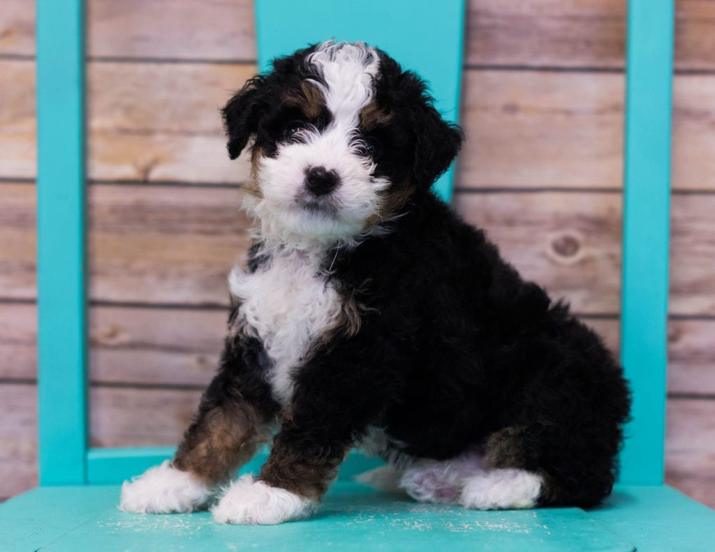 Landon came from Sasha and Stanley's litter of F1 Bernedoodles