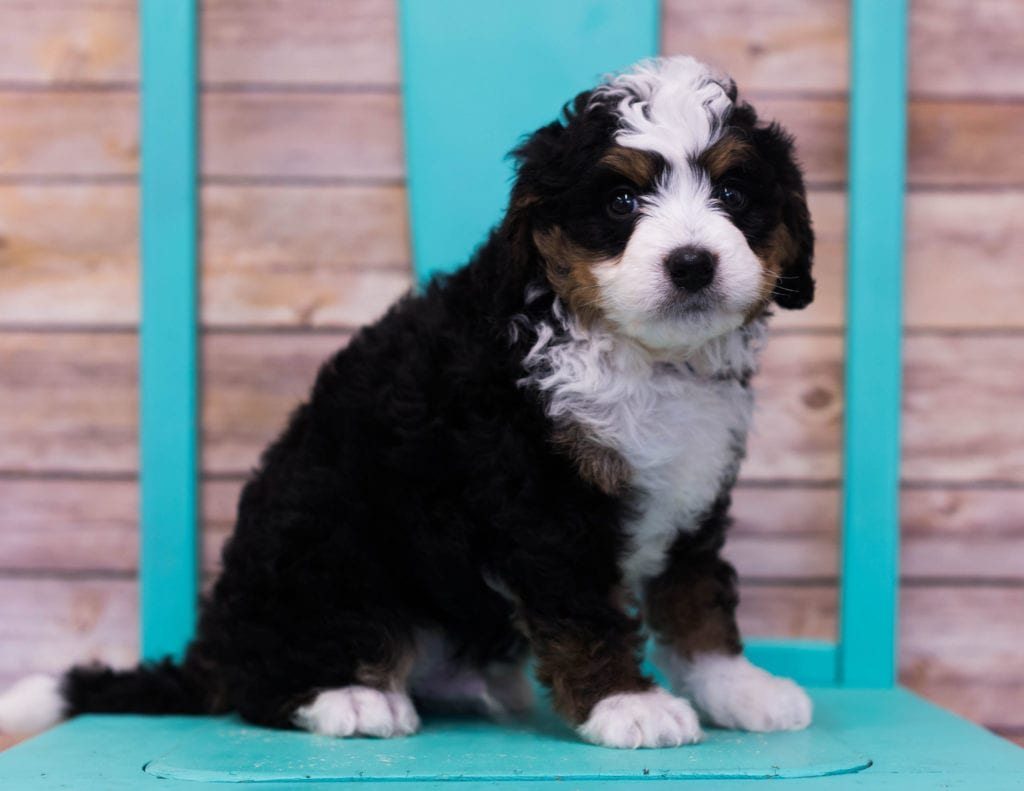A picture of a Lotus, one of our Mini Bernedoodles puppies that went to their home in Connecticut