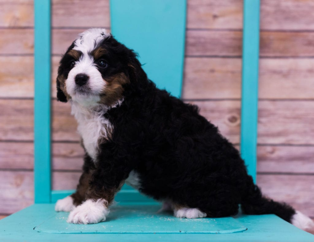 Lotus came from Sasha and Stanley's litter of F1 Bernedoodles