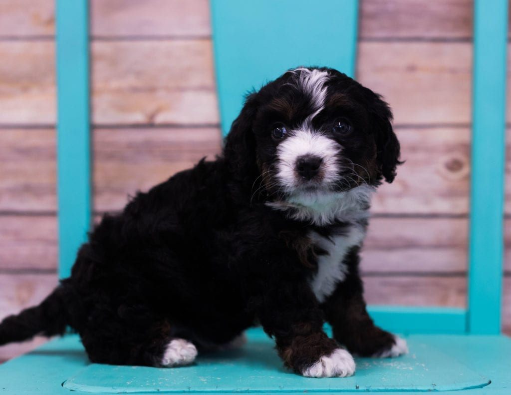 Lana came from Sasha and Stanley's litter of F1 Bernedoodles