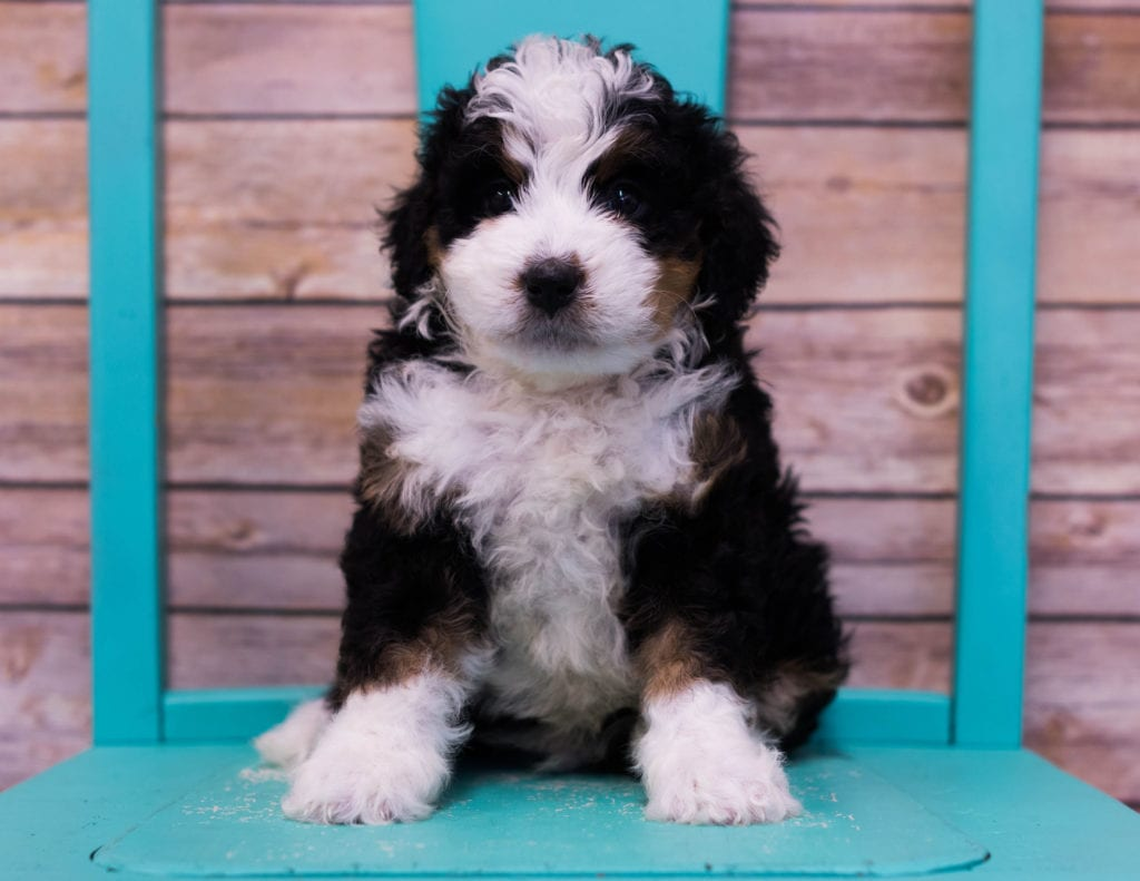 A picture of a Linus, one of our Mini Bernedoodles puppies that went to their home in Nebraska
