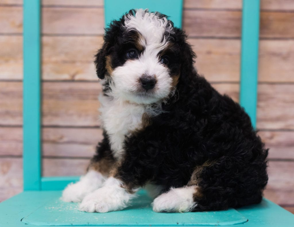 Linus came from Sasha and Stanley's litter of F1 Bernedoodles