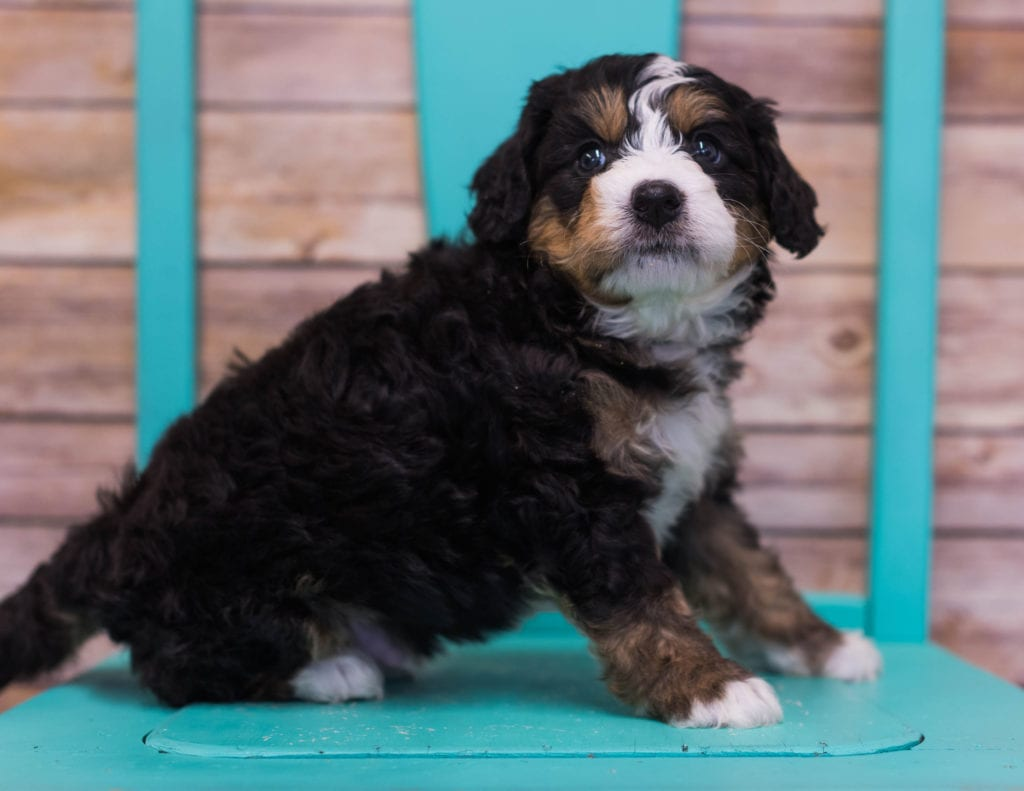 Luther came from Sasha and Stanley's litter of F1 Bernedoodles