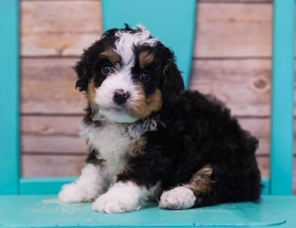 Lexy is an F1 Bernedoodle that should have  and is currently living in California