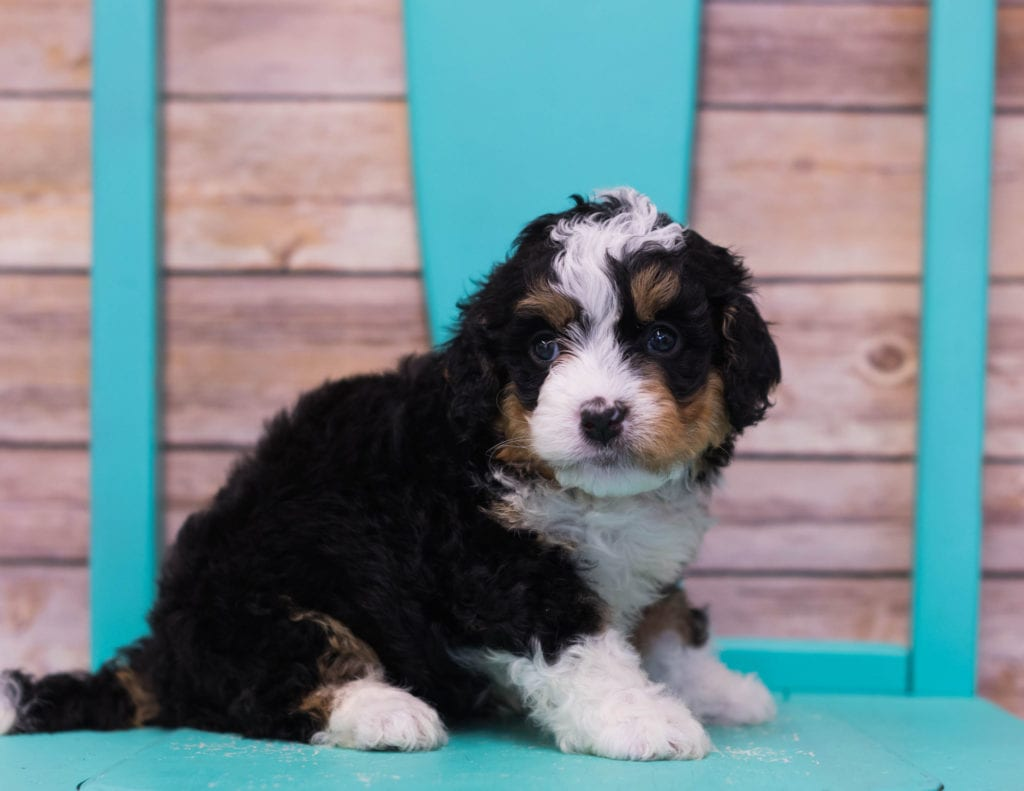 Lexy came from Sasha and Stanley's litter of F1 Bernedoodles