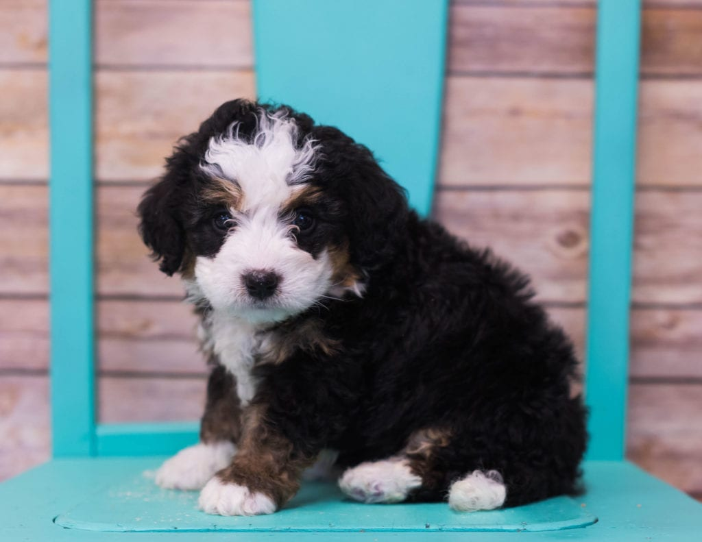 Luka came from Sasha and Stanley's litter of F1 Bernedoodles