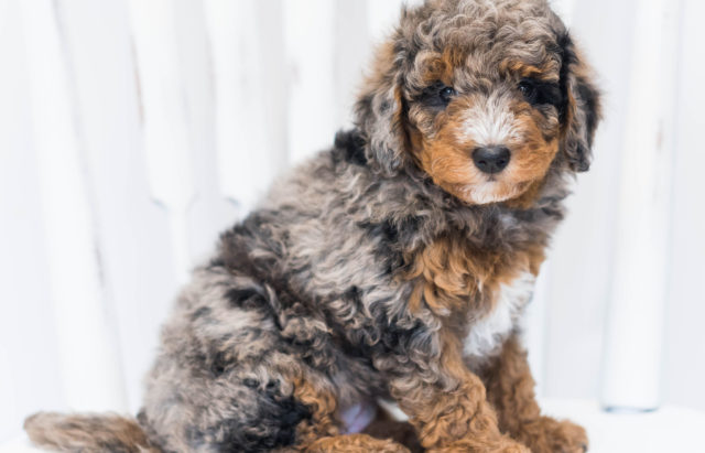 A picture of our litter of Petite Bernedoodles raised in Iowa
