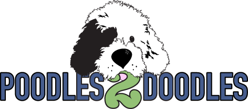 Poodles 2 Doodles, Sheepadoodle and Bernedoodle breeder from Iowa