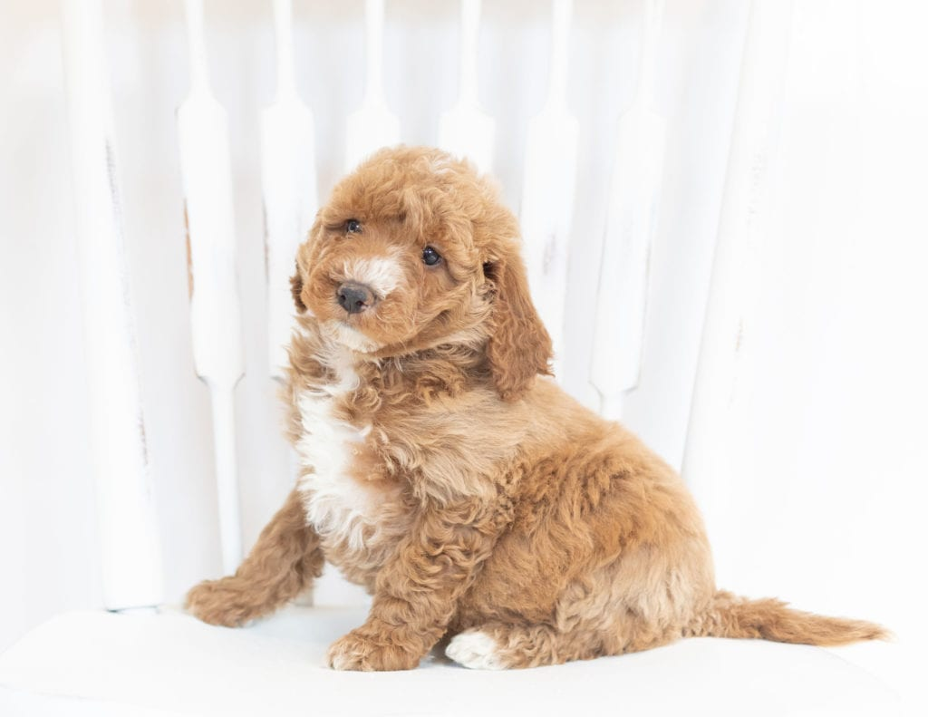 Major came from Leia and Rugar's litter of F1B Goldendoodles