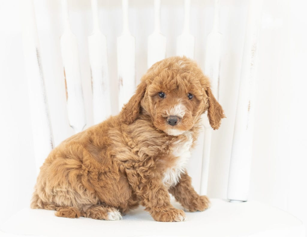 Major is an F1B Goldendoodle that should have  and is currently living in Minnesota
