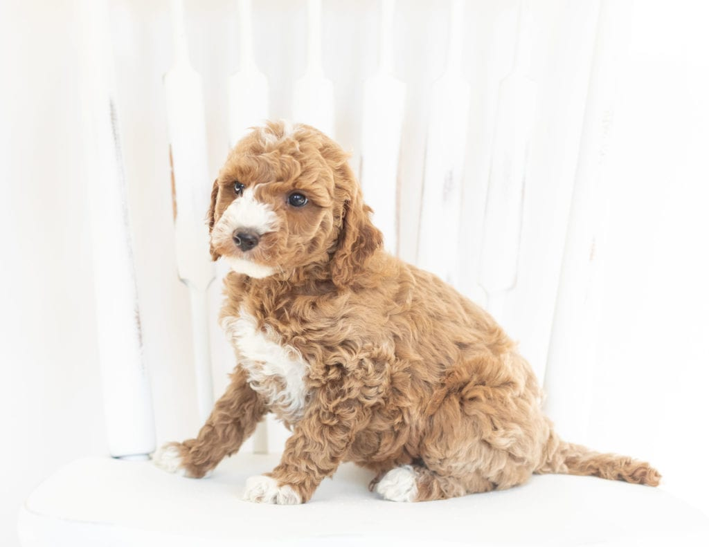 Miles is an F1B Goldendoodle that should have  and is currently living in Iowa