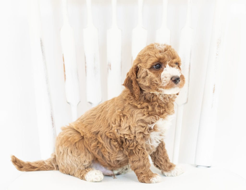 Miles came from Leia and Rugar's litter of F1B Goldendoodles
