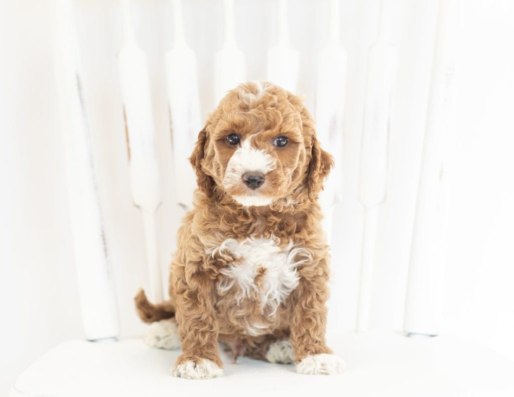 A picture of a Miles, one of our Mini Goldendoodles puppies that went to their home in Iowa