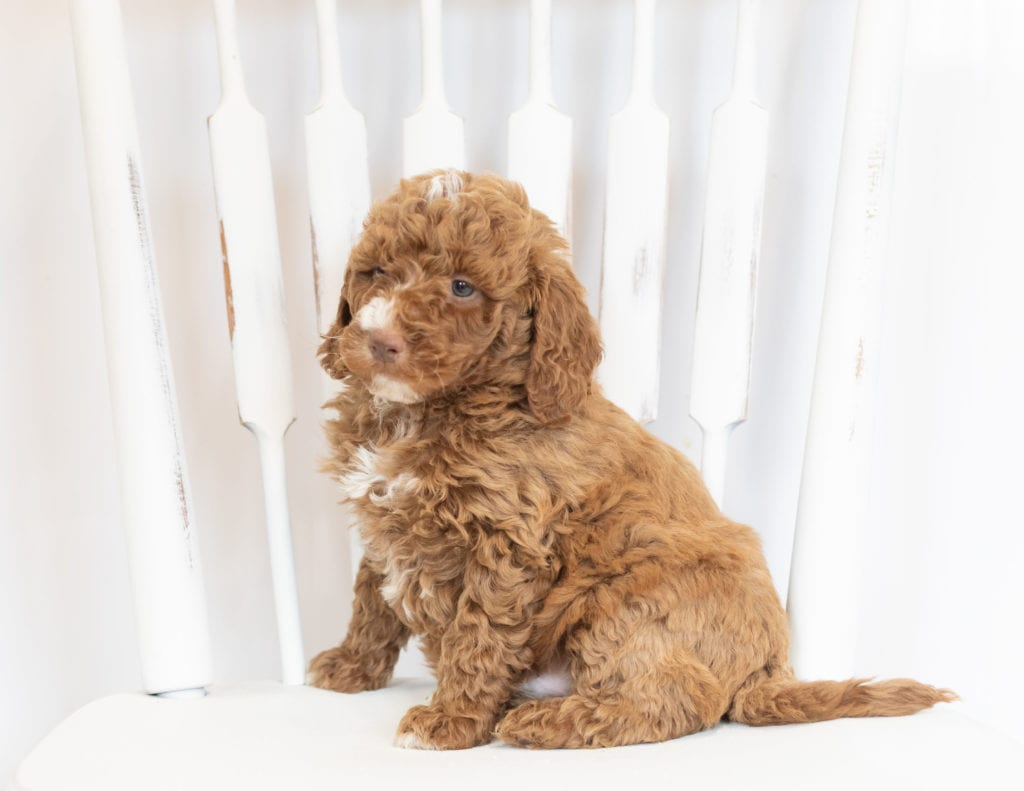 A picture of a Martin, one of our Mini Goldendoodles puppies that went to their home in Iowa