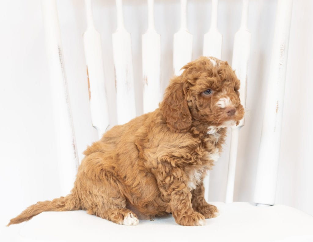 Martin came from Leia and Rugar's litter of F1B Goldendoodles