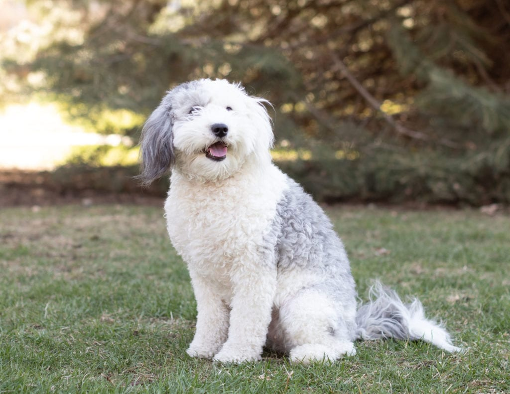 Harlee is an  Sheepadoodle and a mother here at Poodles 2 Doodles, Sheepadoodle and Bernedoodle breeder from Iowa
