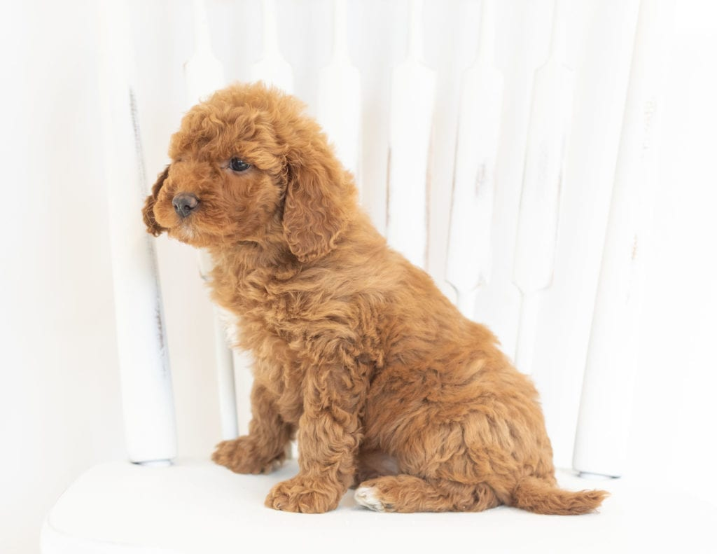 Mocha came from Leia and Rugar's litter of F1B Goldendoodles