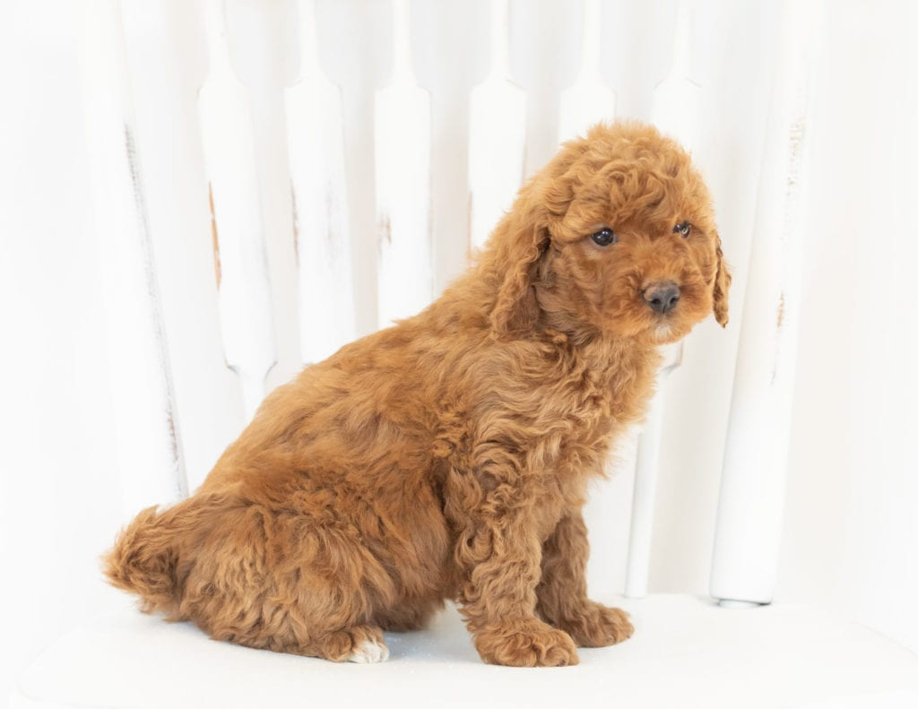 Mocha is an F1B Goldendoodle that should have  and is currently living in Iowa