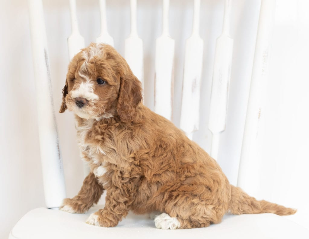 Moxie is an F1B Goldendoodle that should have  and is currently living in Nebraska