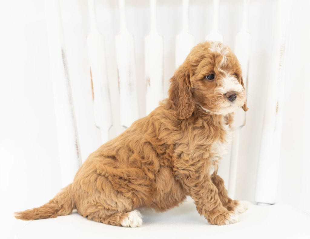 Moxie came from Leia and Rugar's litter of F1B Goldendoodles