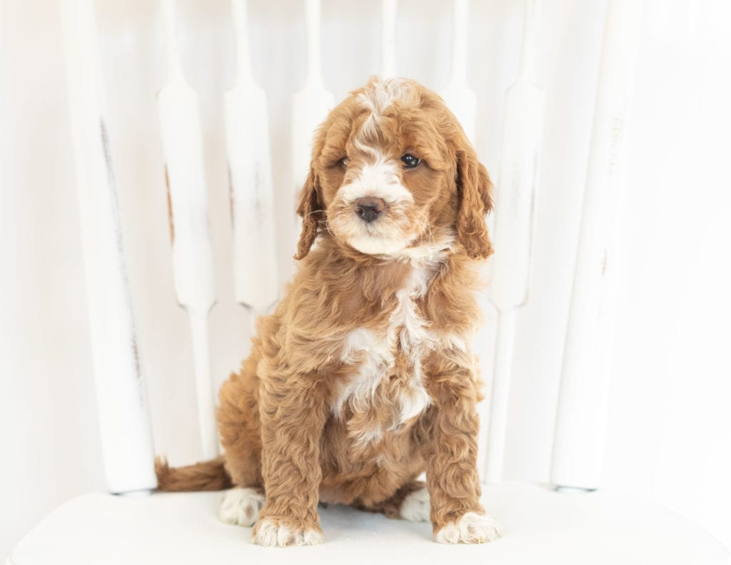 These Goldendoodles were bred by Poodles 2 Doodles, their mother is Leia and their father is Rugar