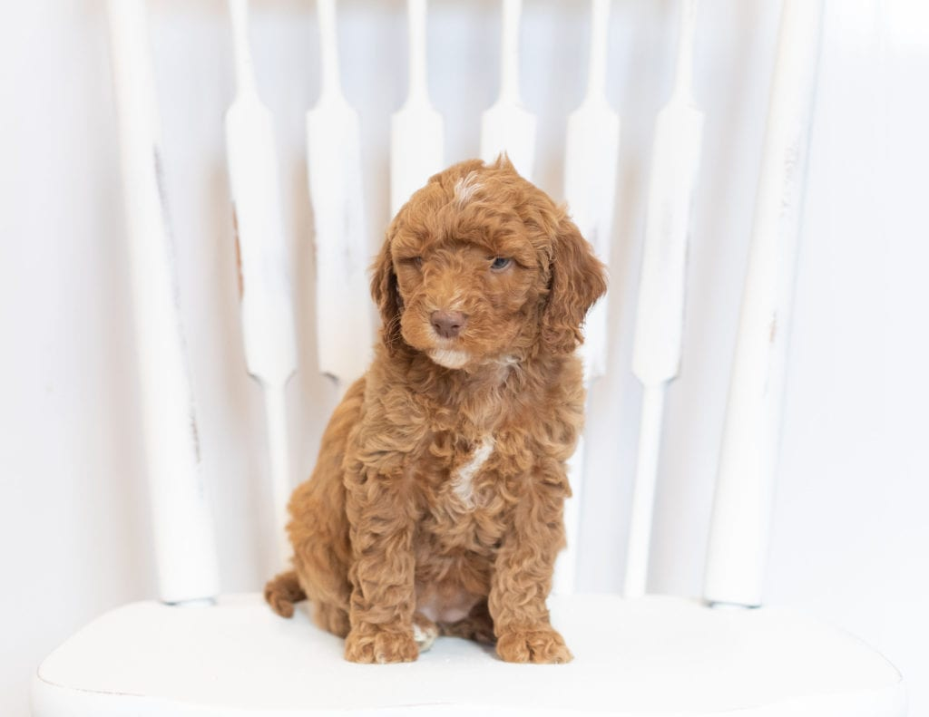 Mona is an F1B Goldendoodle that should have  and is currently living in South Dakota
