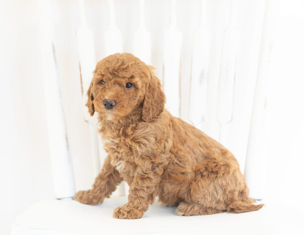 Mabel came from Leia and Rugar's litter of F1B Goldendoodles