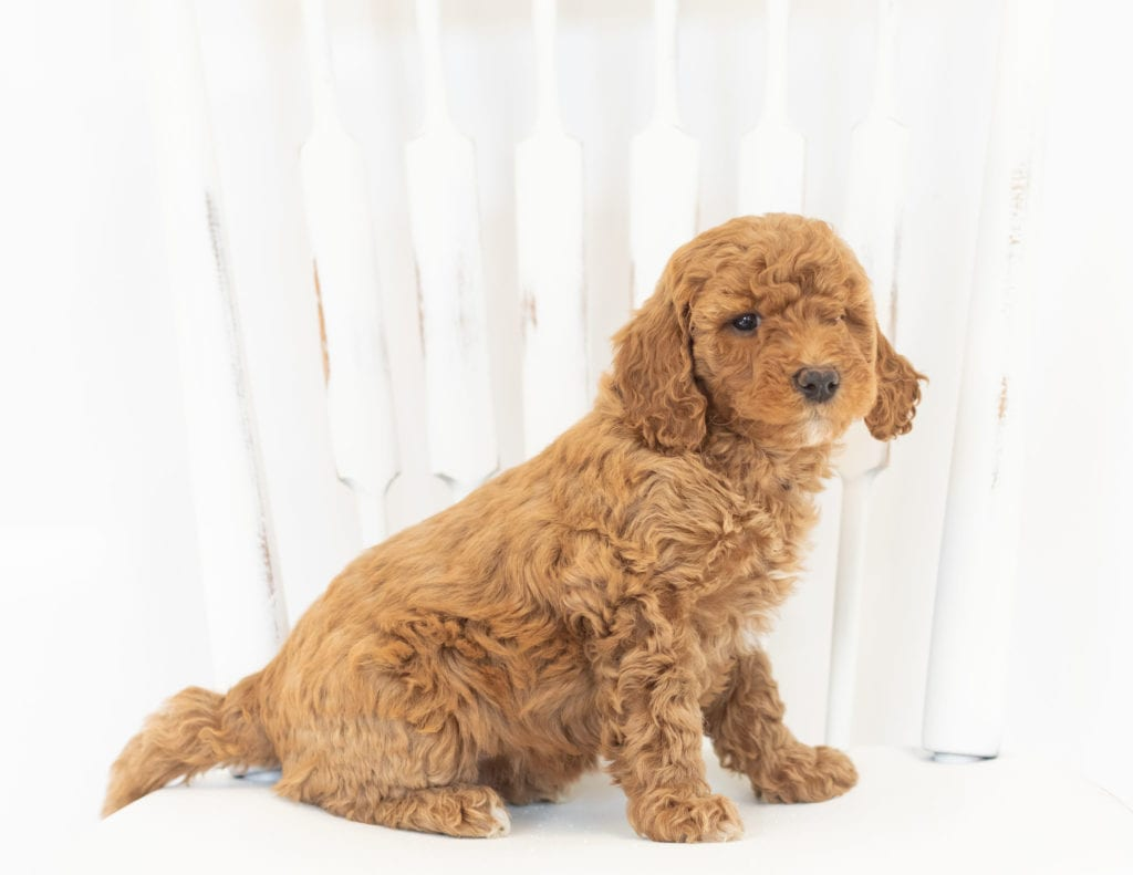 Mabel is an F1B Goldendoodle that should have  and is currently living in Illinois