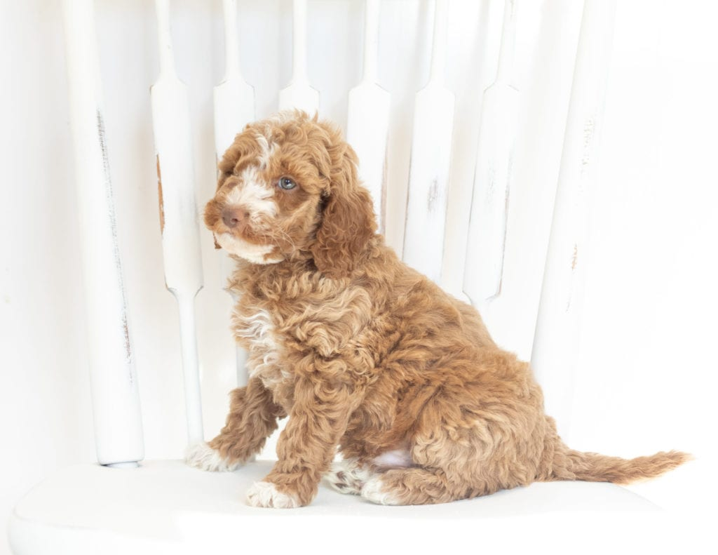 A picture of a Memphis, one of our Mini Goldendoodles puppies that went to their home in Kansas