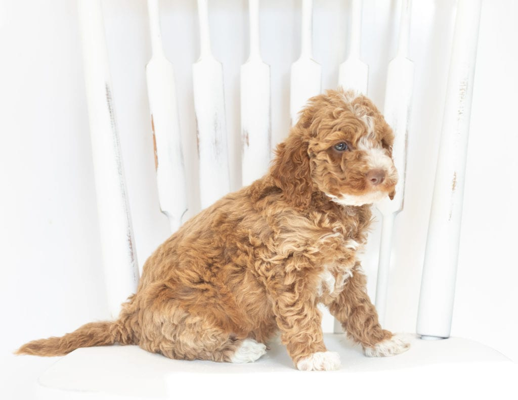 Memphis is an F1B Goldendoodle that should have  and is currently living in Kansas