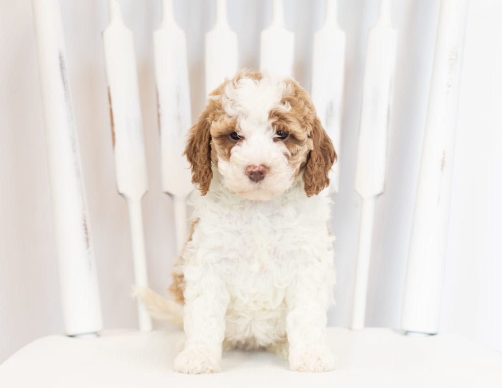 A picture of a Muffin, one of our Mini Goldendoodles puppies that went to their home in South Dakota