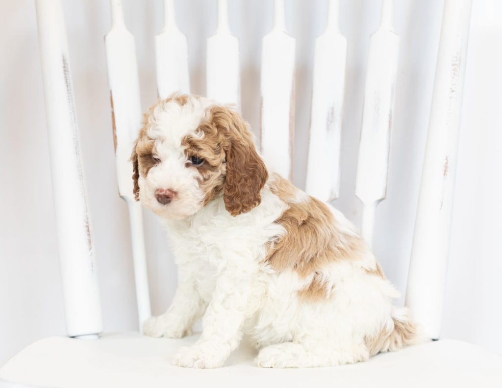 Muffin is an F1B Goldendoodle that should have  and is currently living in South Dakota